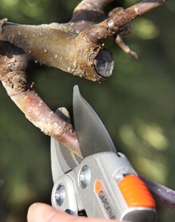 Obstbaumschnitt_Guckuck